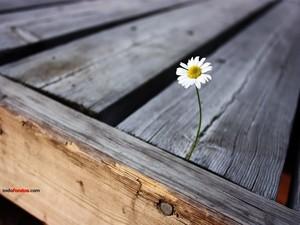 A solitary daisy