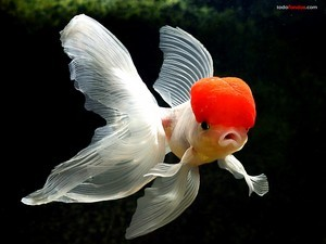 Goldfish red beret