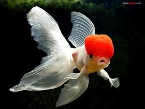 Goldfish red beret