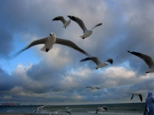 Gulls flying