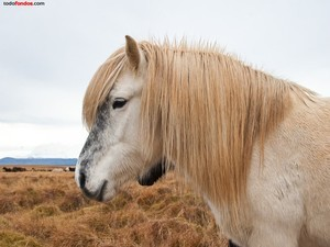 Icelandic horse white