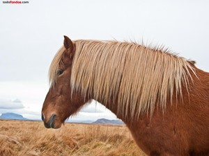 Icelandic horse chestnut and blond
