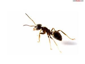Lasius niger ant