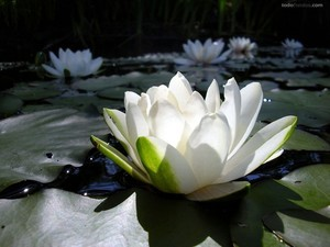 White lotus flowers