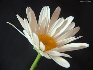 A daisy