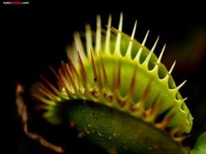 Flytrap carnivorous plant