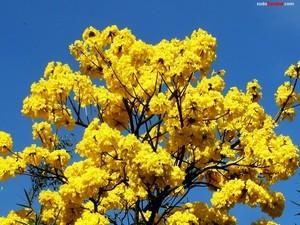 Guayacan tree yellow