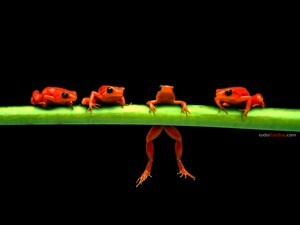 Orange frogs