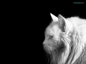 White on black cat
