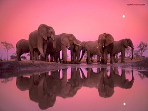 Meeting of elephants