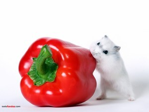 Mouse eating a pepper