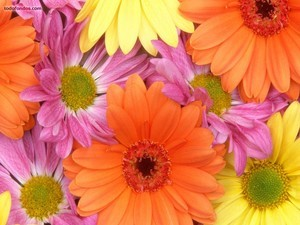Coloured daisies