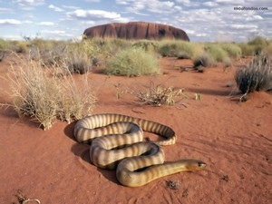 Snake in the desert
