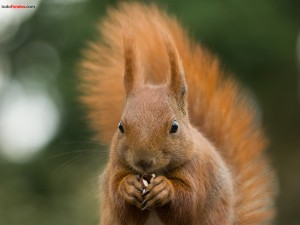 A squirrel eating