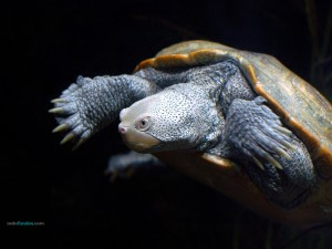 African helmeted turtle or Marsh Terrapin (Pelomedusa subrufa)
