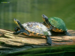 Pair of turtles Pseudemys (cooters)