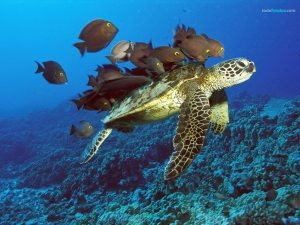 Green Sea Turtle being cleaned by reef fishes in Hawaii