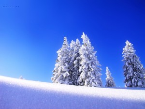 Snowy trees, under a blue sky
