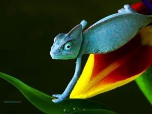 A blue chameleon