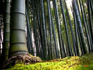 Bamboo Forest, in Kyoto (Japan)