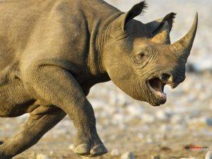 Black Rhinoceros charging