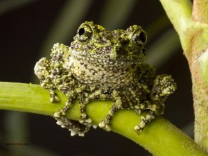 Moss Frog (Arthroleptella)