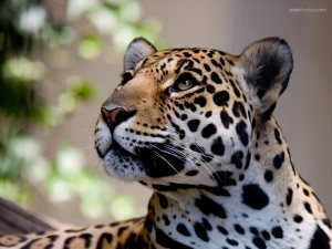 A beautiful leopard