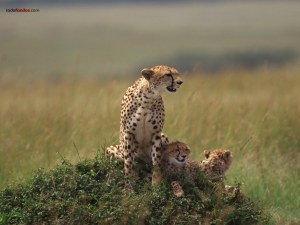 Cheetah with his cubs