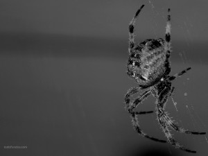 Spider weaving his web