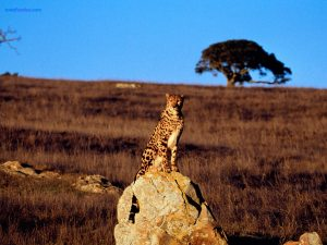 Watchful cheetah