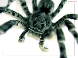 Close-up of a tarantula