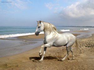 White horse on the beach