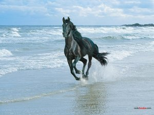 Black horse on the beach