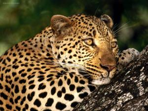 Leopard thinking