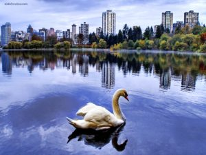A swan in the city