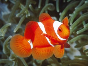Orange and white clownfish