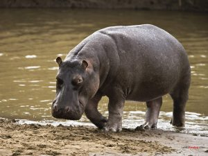 Hippo going out water