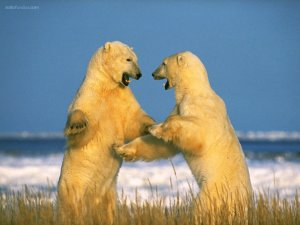 Polar bears fight