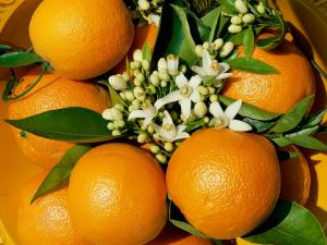 Oranges with the orange blossom