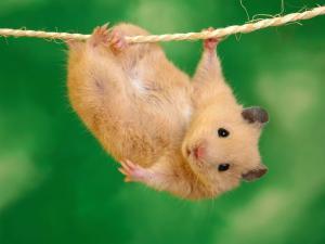 An acrobat little mouse