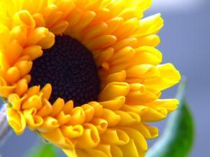 Flower of yellow petals