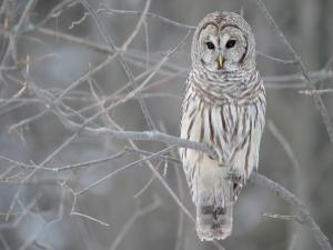 Owl posed in a tree