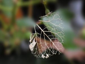 Skeleton of a leaf