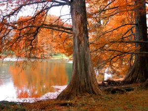 Trees of orange leaves