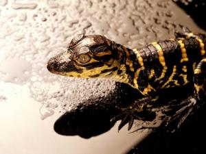 Black and gold lizard