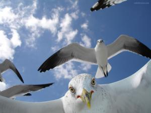 The seagulls attack