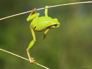 Green frog acrobat