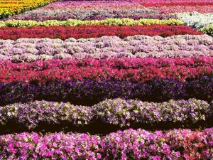 Field of petunias