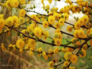 Flowering of yellow