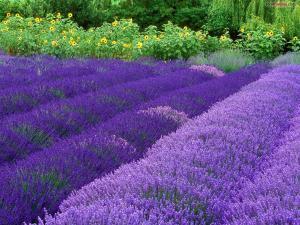 Lavender-purple flowers